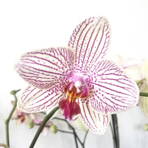 Striped orchids
