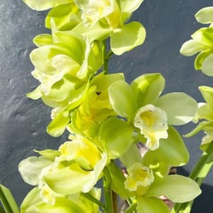Lime Splice Cymbidium Orchid 2