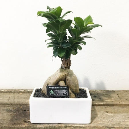 Bonsai - Buddha Belly Fig