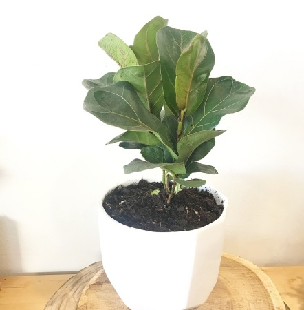 Fiddle-Leaf Fig 250mm