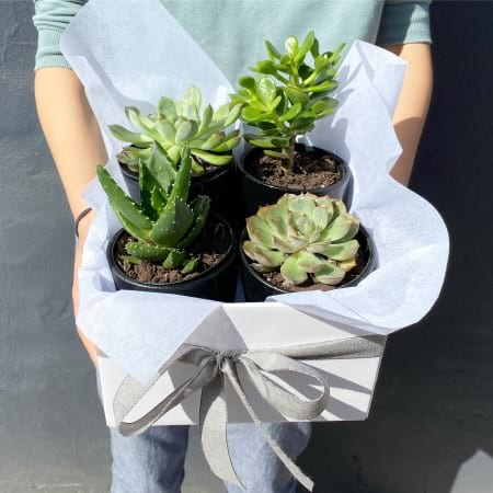 Succulent Set - Gift Box
