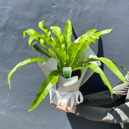 Nest Fern Gift Wrapped