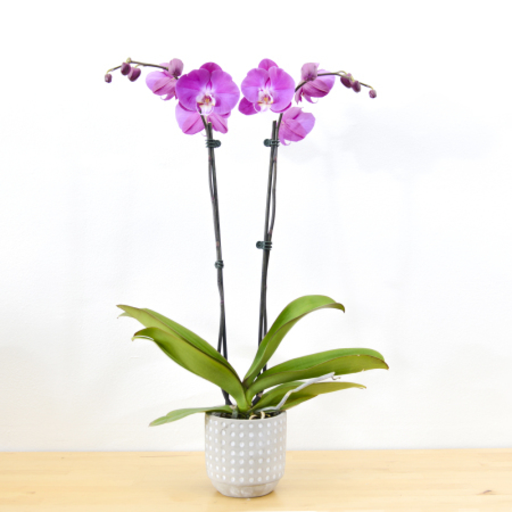 Phalaenopsis orchids - Double Stem