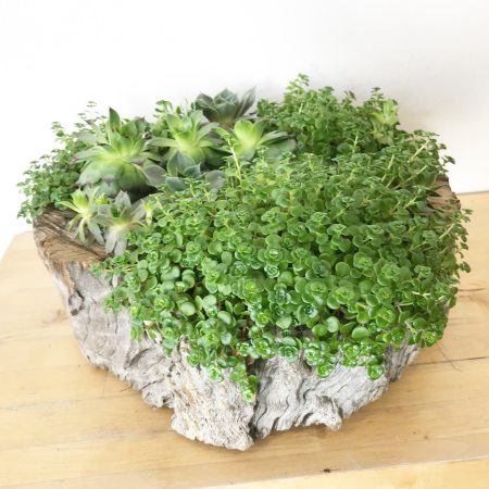 Succulent Stump