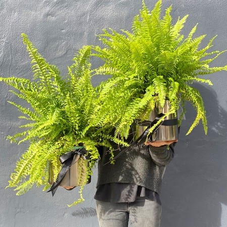 Boston Fern in a Gunmetal Planter