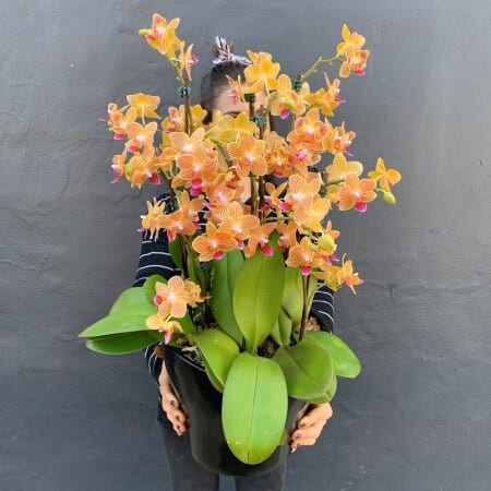 Large Sunset Orchid Pot