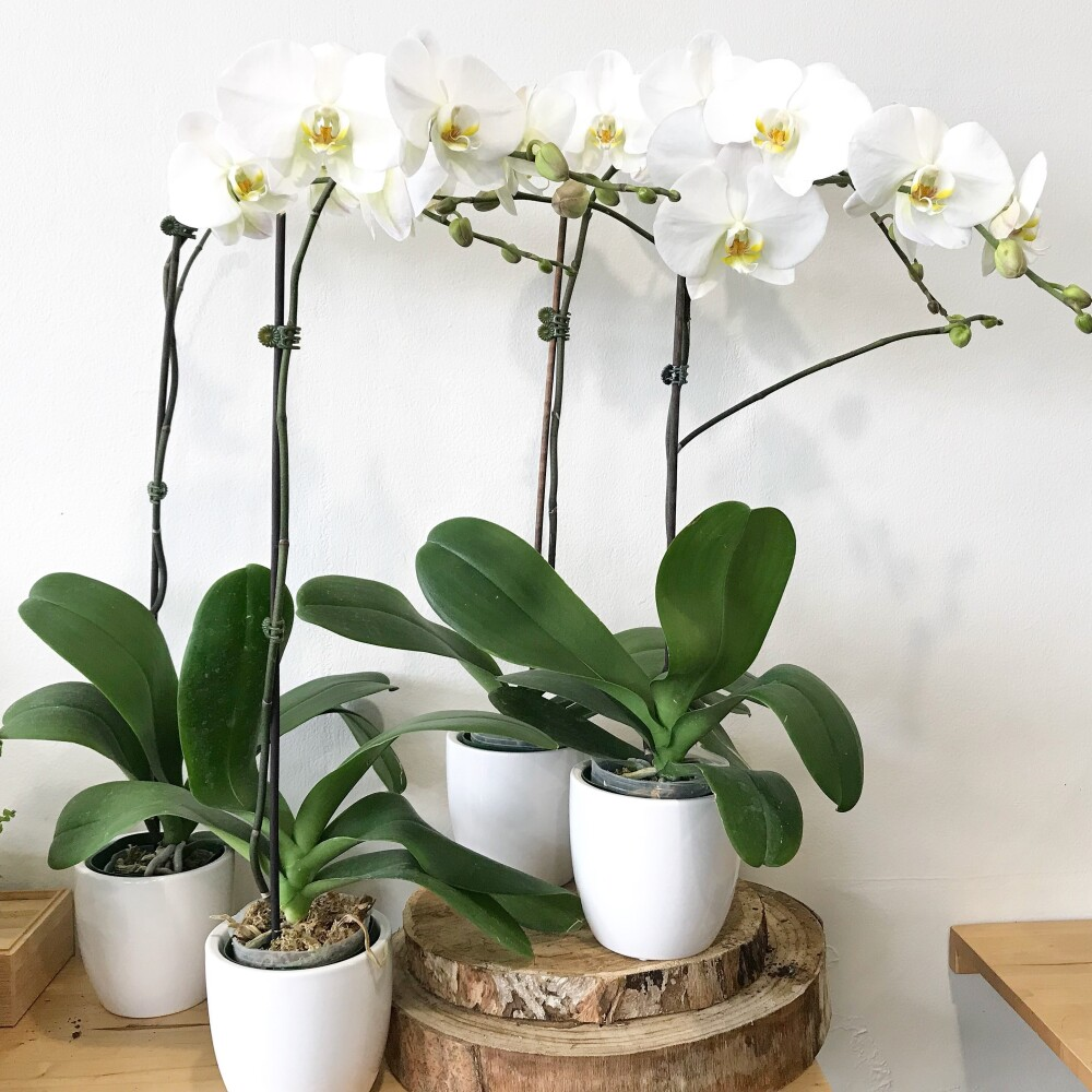 Phalaenopsis orchid - Single Stem
