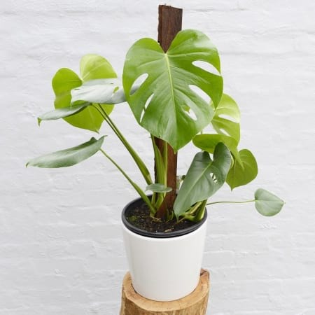 Monstera Deliciosa (Fruit Salad Plant)