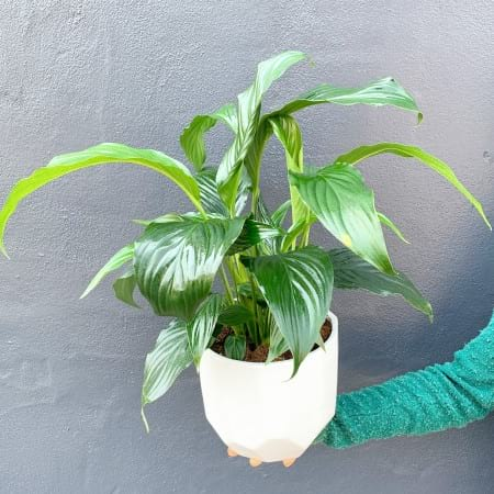 Peace Lily in a Ceramic Pot