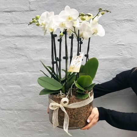 Large Orchid Plant