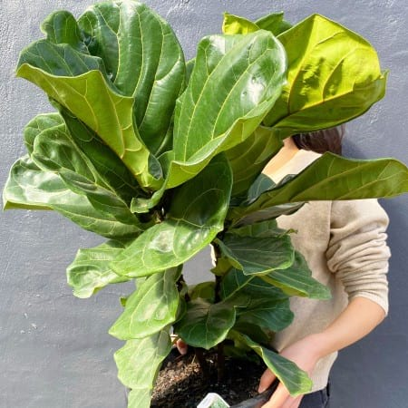 Jumbo Fiddle Leaf Fig