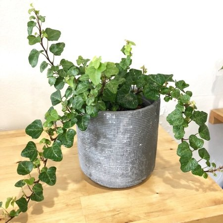 English Ivy in Ceramic Planter