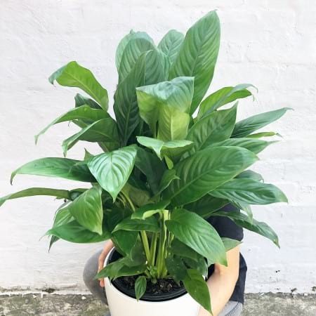 Peace Lily in a Ceramic Pot 200mm
