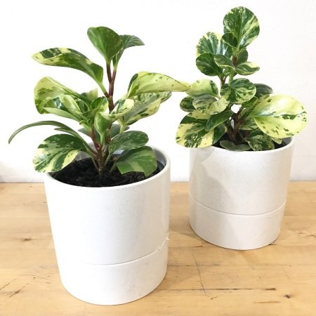 Peperomia in a Ceramic Planter