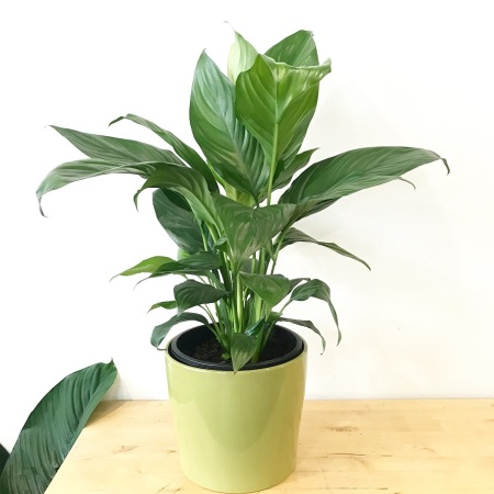 Peace Lily 200mm in a Ceramic Pot